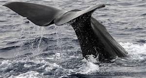 Chasse La Baleine 155 Rorquals Tus En Islande
