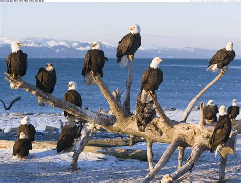 beautiful groups  alaska eagles xcitefunnet