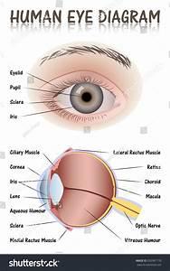 Human Eye Diagram Stock Vector 292987178
