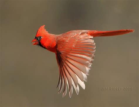 flying northern cardinal www jimridleyphotography com