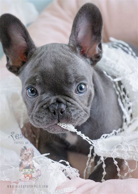 blue female frenchie puppies  sale  davie florida