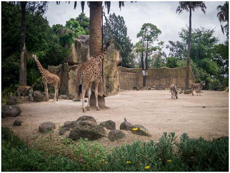 zoo melbourne enclosure dear giraffes zebras