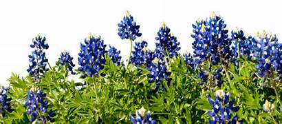 Bluebonnets April Posted