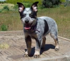 miniature queensland heeler photo dog breeds picture