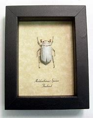 White Scarab Beetle