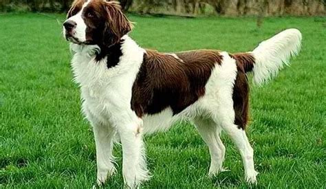 brittany spaniel dog breed information pictures and facts