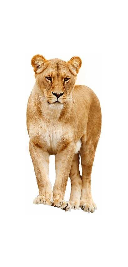Lion งโต Denver Zoo Lions African Working