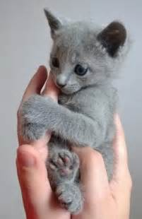 russian blue cat price 1000 images about russian blue kittens on