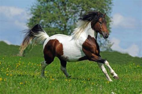 wissen ueber haustiere das lewitzer pony