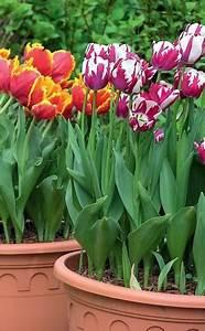 Blumenzwiebeln Pflanzen Frühjahr : blumenzwiebeln blumenzwiebeln tulpen pflanzen und blumenzwiebeln pflanzen ~ A.2002-acura-tl-radio.info Haus und Dekorationen