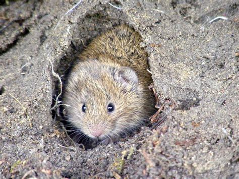 Short-tailed Vole