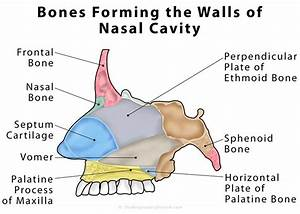 Nasal Cavity Definition  Anatomy  Functions  Diagrams