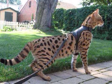 Savannah Cat Largest Domestic Cat That Looks Like A
