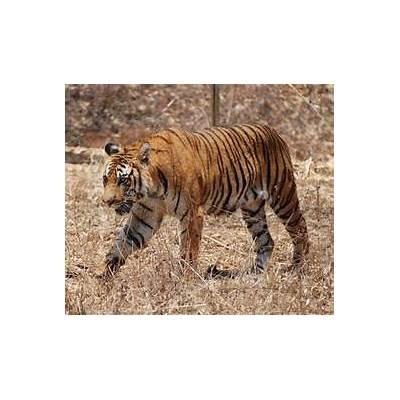 File:Bengal Tiger Karnataka.jpg - Wikipedia