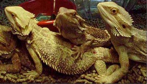 bearded names tosney s bearded dragon names