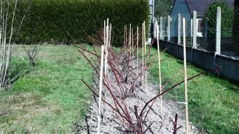 comment planter un framboisier en pot periode plantation framboisier top framboisier meeker h cm pot l with periode plantation