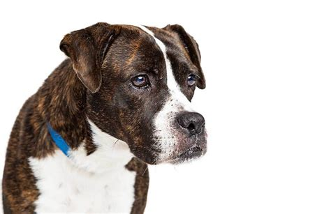 Bullboxer Pit Dog Breed » Everything About Pitbull Boxer Mixes