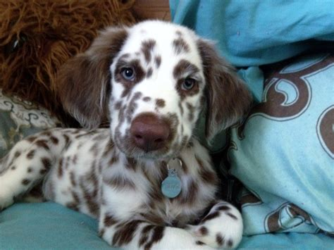 Rare Dalmatians can come in all sorts of colors!