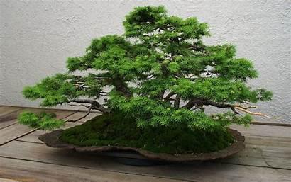 Bonsai Tree Wallpapers Desktop Wiki Backgrounds Juniper