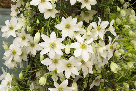 Clematis 'early Sensation' White  Plant & Flower Stock