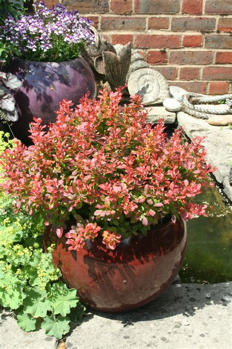 berberis admiration shrubs tubs pots planting amateur containers gardening advice