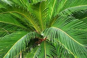 Sago Palm Poisoning in Cats - Symptoms, Causes, Diagnosis ...