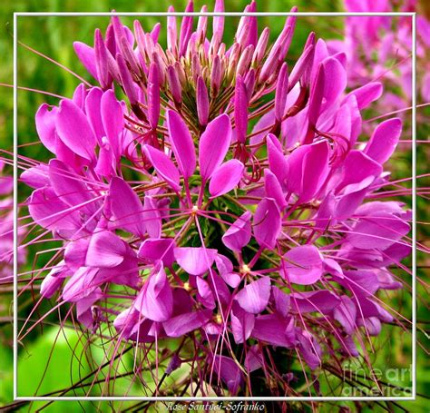 cleome flower pink cleome flower photograph by rose santuci sofranko