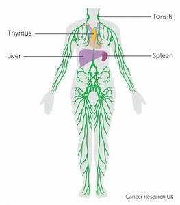 Simple Lymphatic System Diagram | www.pixshark.com ...
