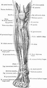 Anterior View Of The Superficial Muscles Of The Leg