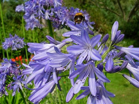 agapantha flower agapanthus flower pictures meanings white agapanthus flowers