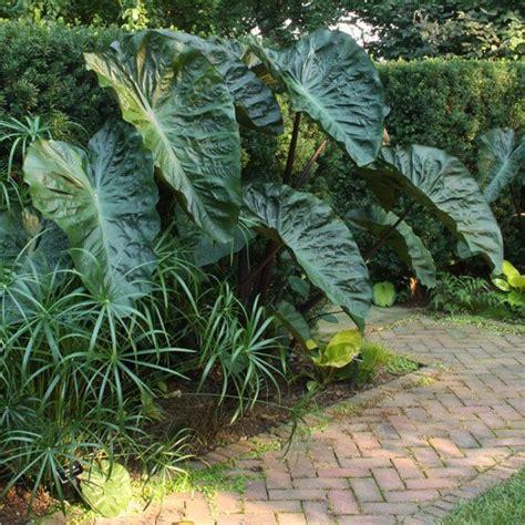 elephant ear size top 28 plant that looks like elephant ears the elephant ear plant the garden of eaden
