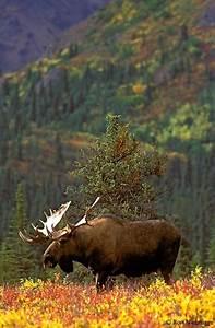 Moose Photos