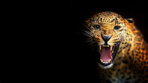 black leopard background 183