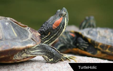 do turtles shed their shells turtle shell peeling this will your mind turtleholic