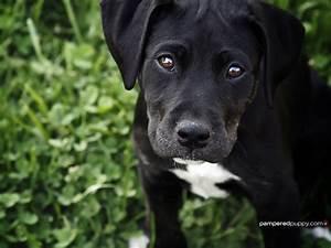 Black Labrador Retriever puppy. - Dogs Wallpaper (13518444 ...