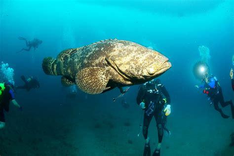 grouper goliath underwater transparent