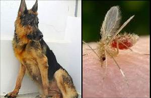 Dog sick with leishmaniasis- abandoned & rescued - YouTube