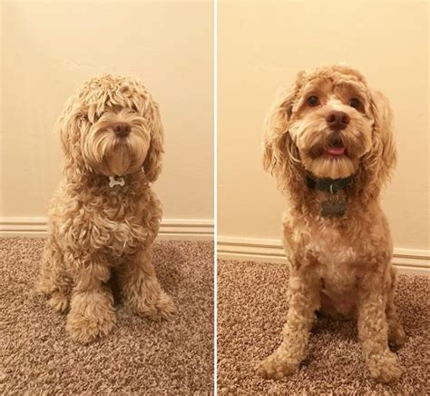 cockapoo haircut pictures page   paws