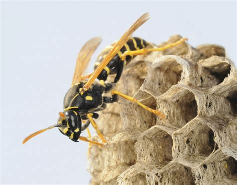 coexisting  friendly paper wasps