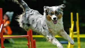 Dog Agility Competitions How To Start Science On Risks