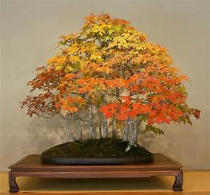 Acer Rubrum American Red Maple Seeds Bonsai Feature | eBay