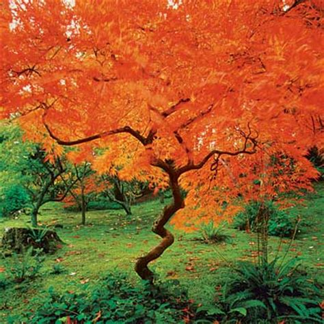 best maple trees for fall color maple 10 best trees and shrubs for fall color this old house