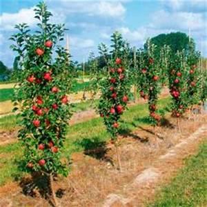 Großen Apfelbaum Kaufen : s ulenobst von g rtner p tschke ~ Lizthompson.info Haus und Dekorationen