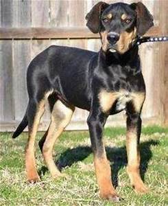Is The Great Dane Rottweiler Mix Too Much For Families To ...