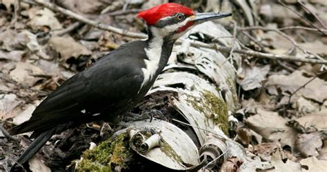 pileated woodpecker life history all about birds cornell