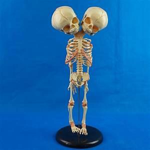 Double Head Baby Skull Human Research Model Skeleton