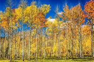 Colorful Colorado Autumn Aspen Trees Photograph by James