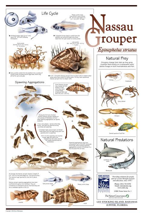 grouper posters loxahatchee