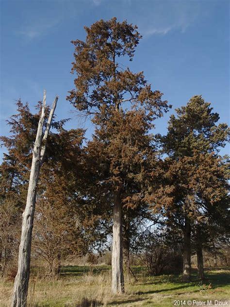 juniperus virginiana eastern red cedar minnesota wildflowers