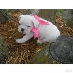 Baby White Bulldog